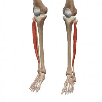 Мышца разгибатель на ноге болит thumbnail